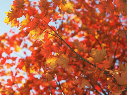 Рендер трехмерного дерева клена осенью